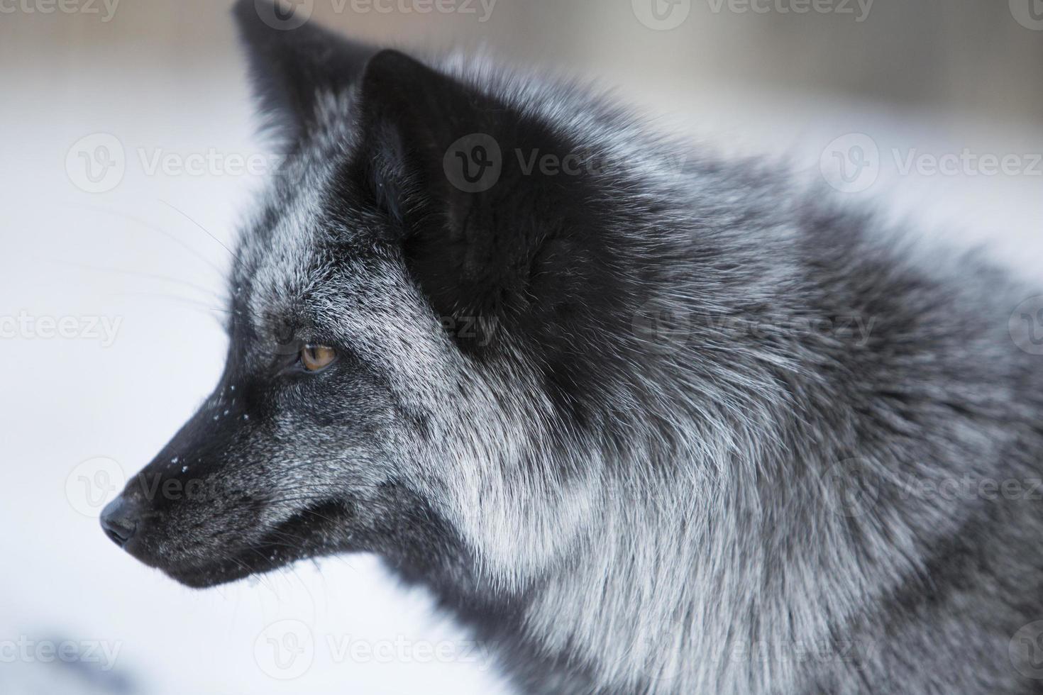 zorro en invierno foto