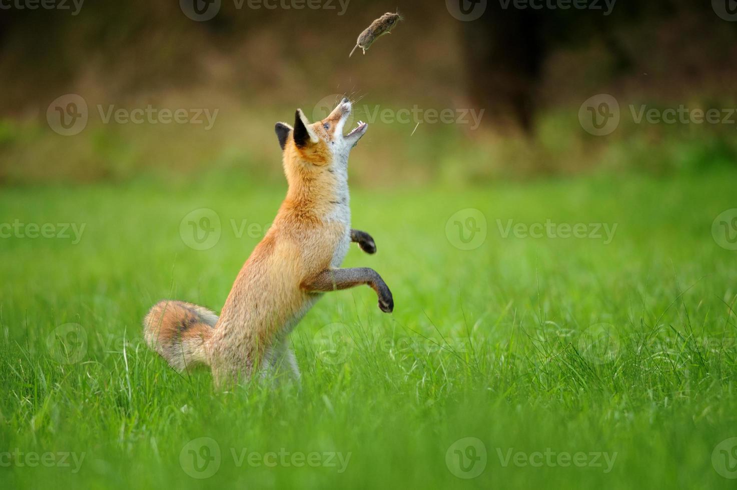 zorro rojo arrojando ratón embrujado sobre hierba verde foto