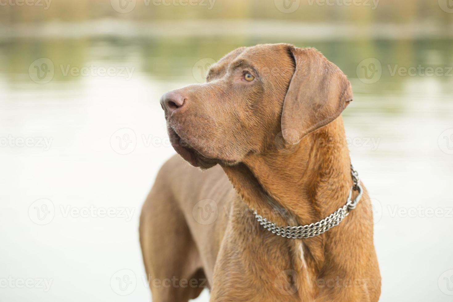perro de defensa serbio sop foto