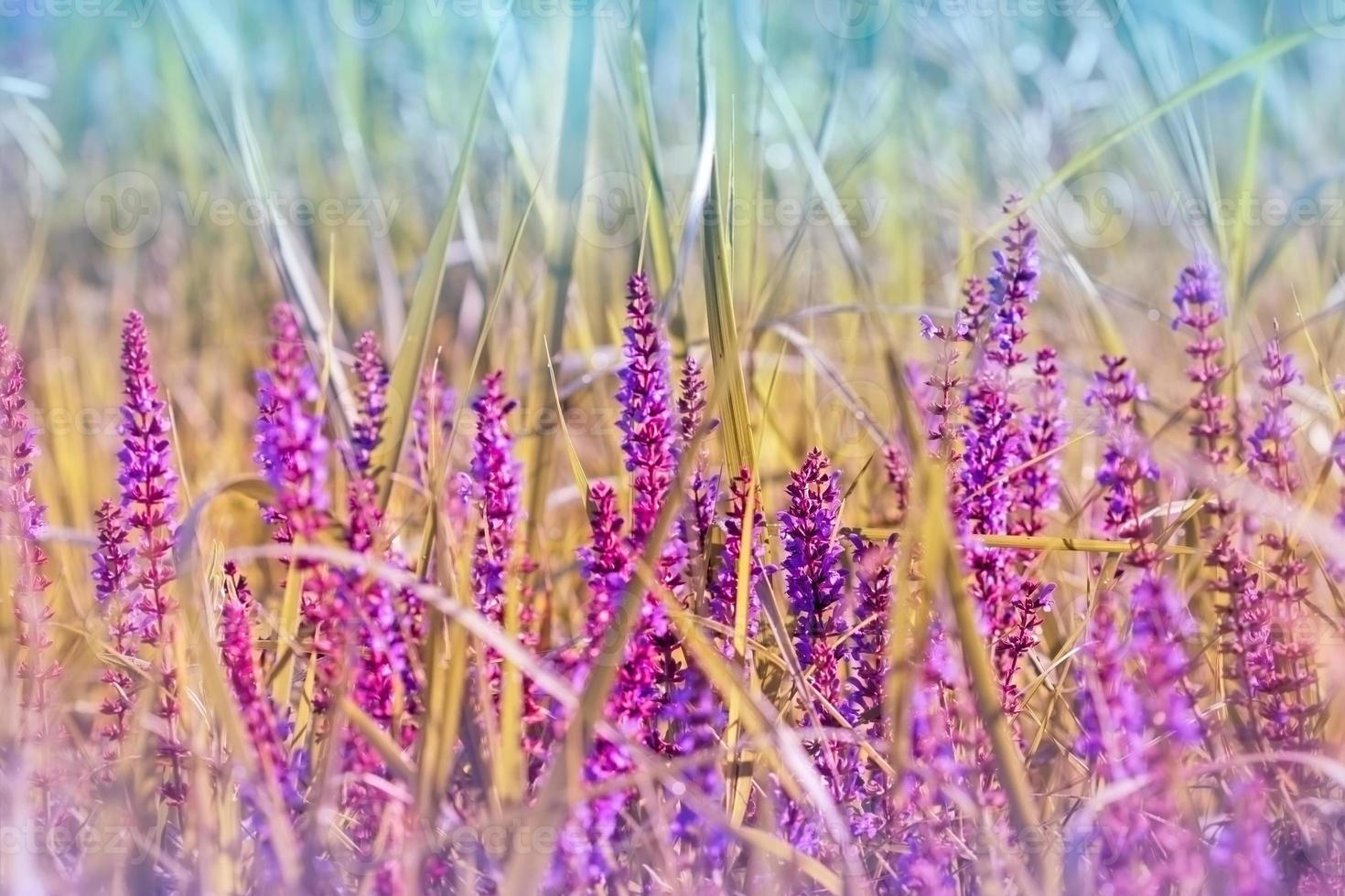 Flowering purple meadow flower photo