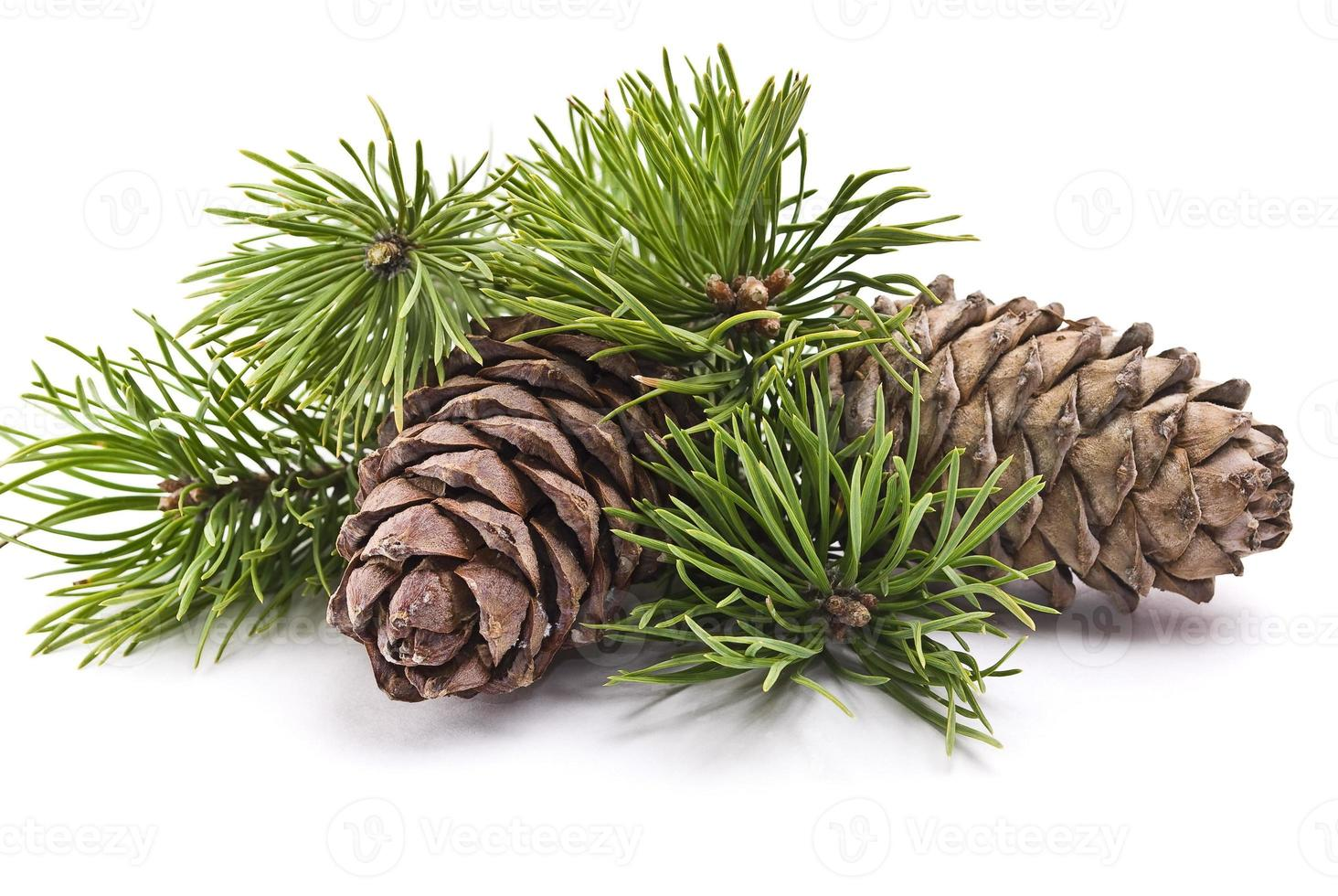 Siberian pine cones and green branches on white background photo