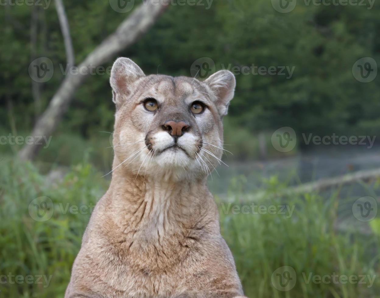 Mountain Lion Head and Shoulders photo