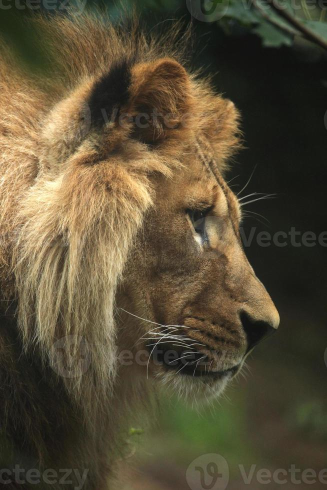 León de Berbería (Panthera leo leo). foto