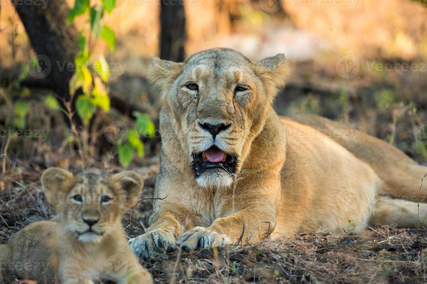 leona y cachorro foto