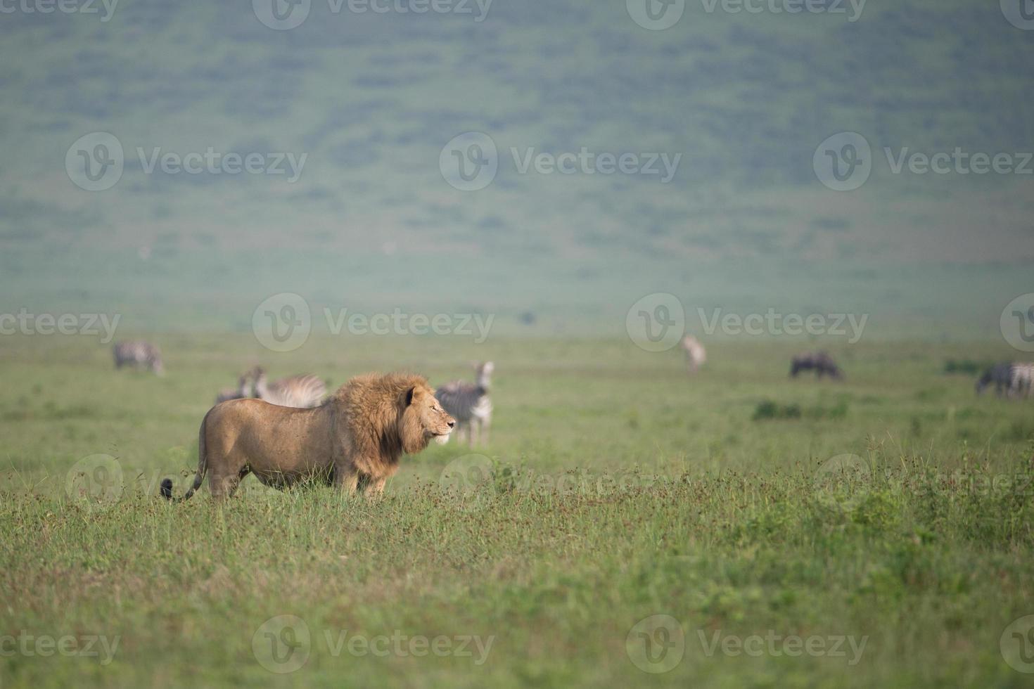 león macho en el parque nacional serengetti, tanzania foto