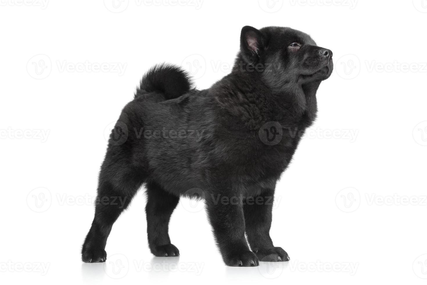 chow-chow cachorro de pie foto