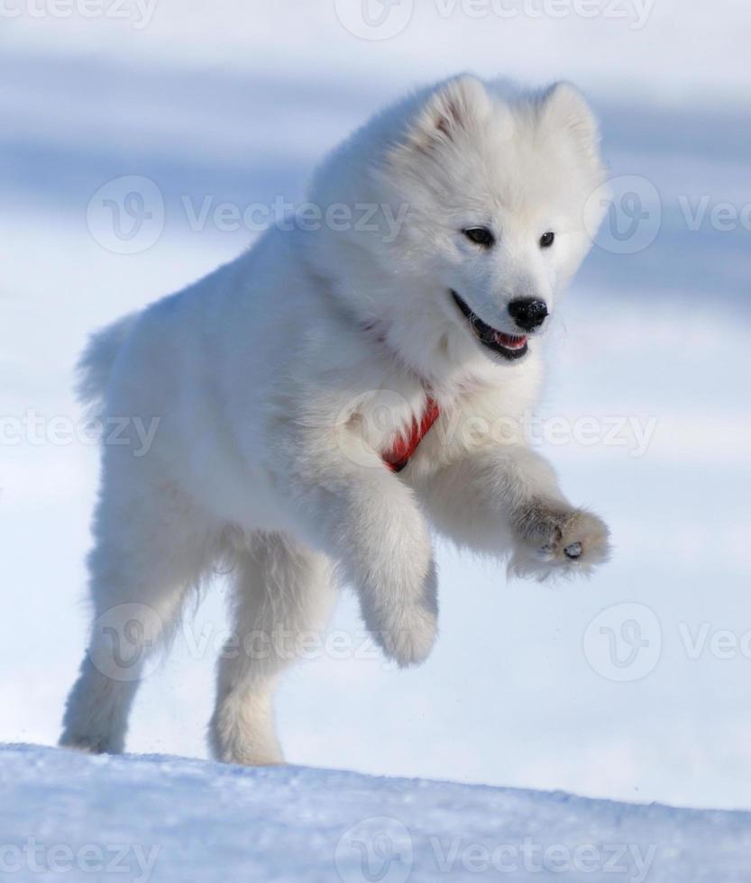 perro samoyedo foto