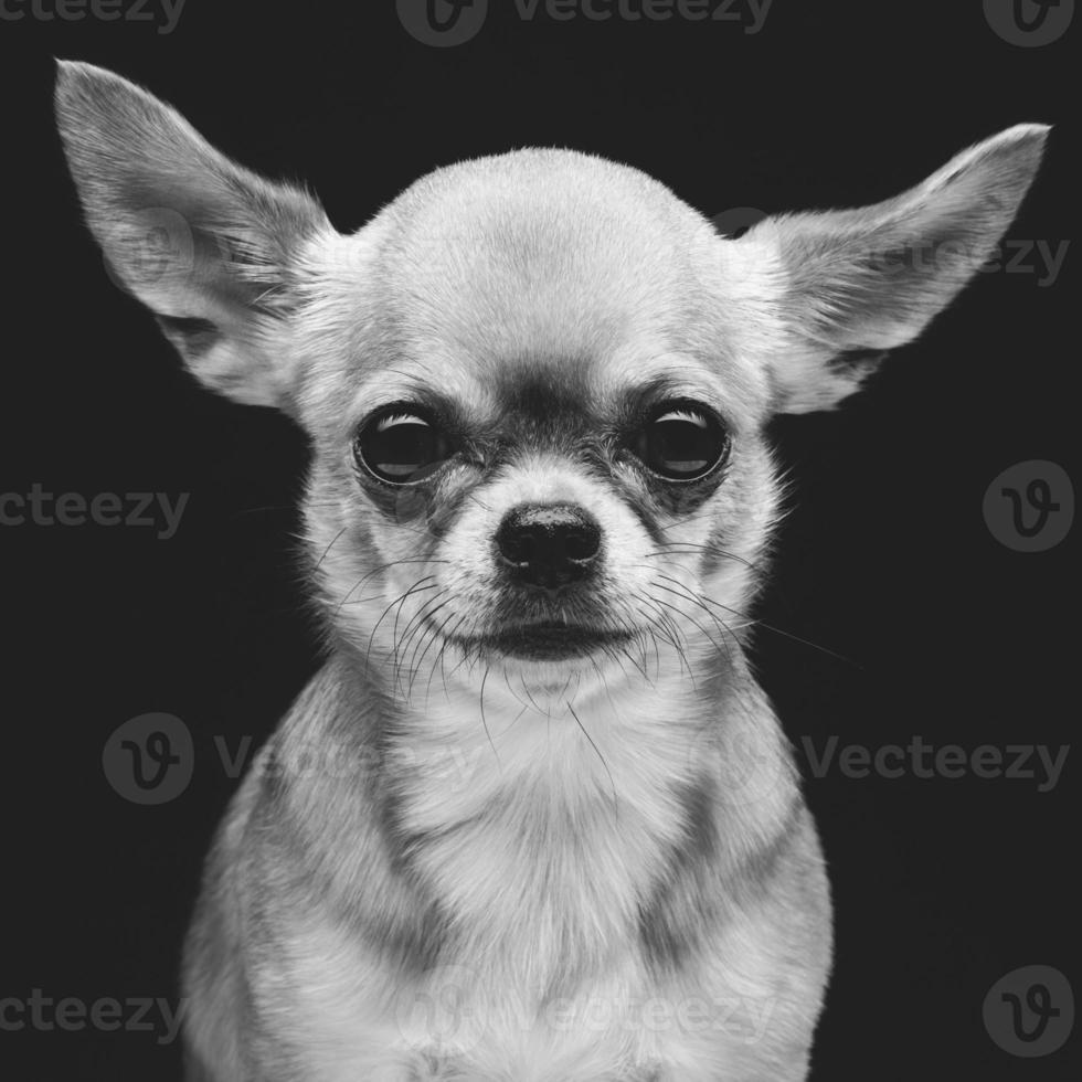 perro chihuahua foto