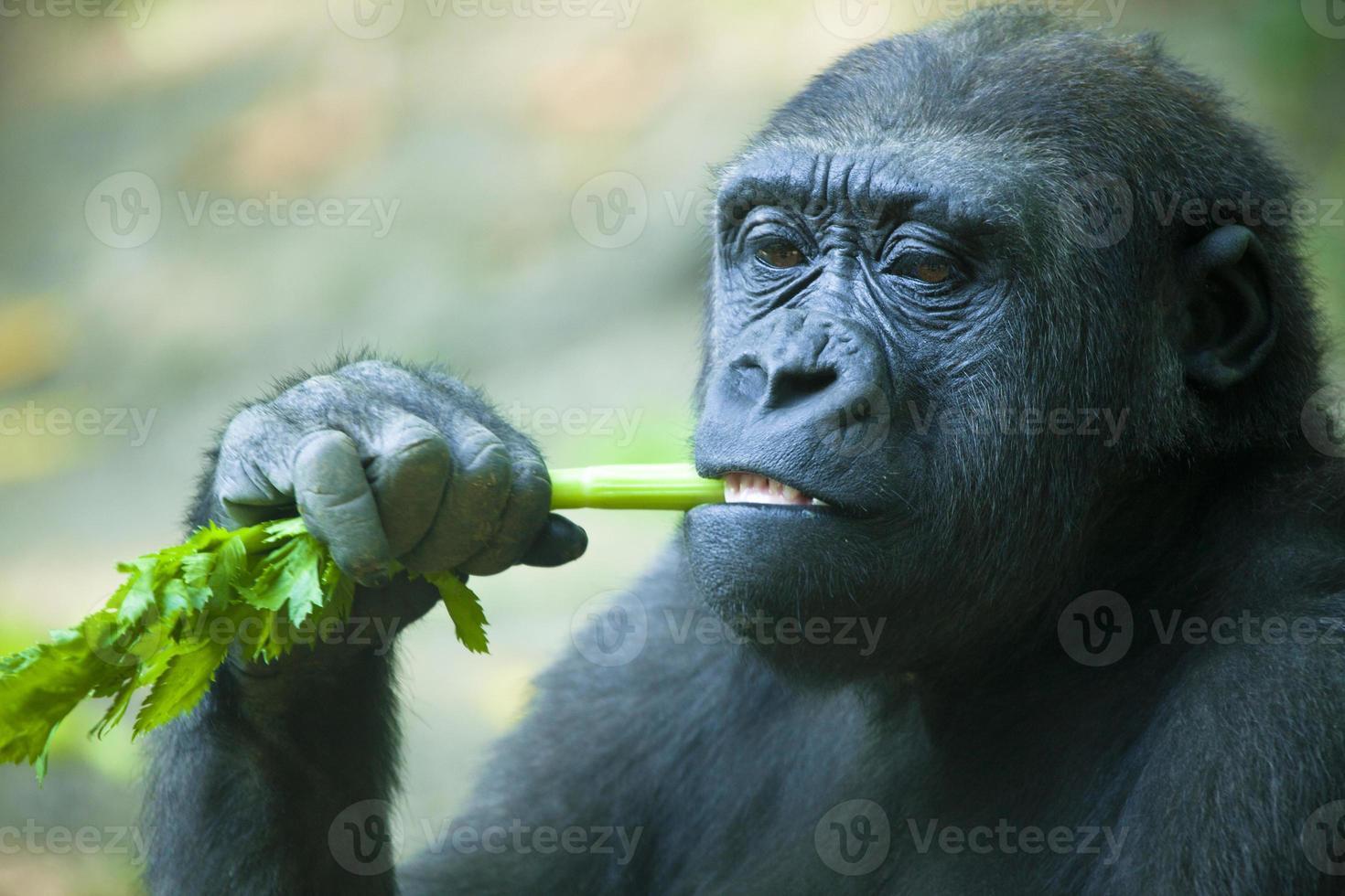 Gorilla Closeup photo