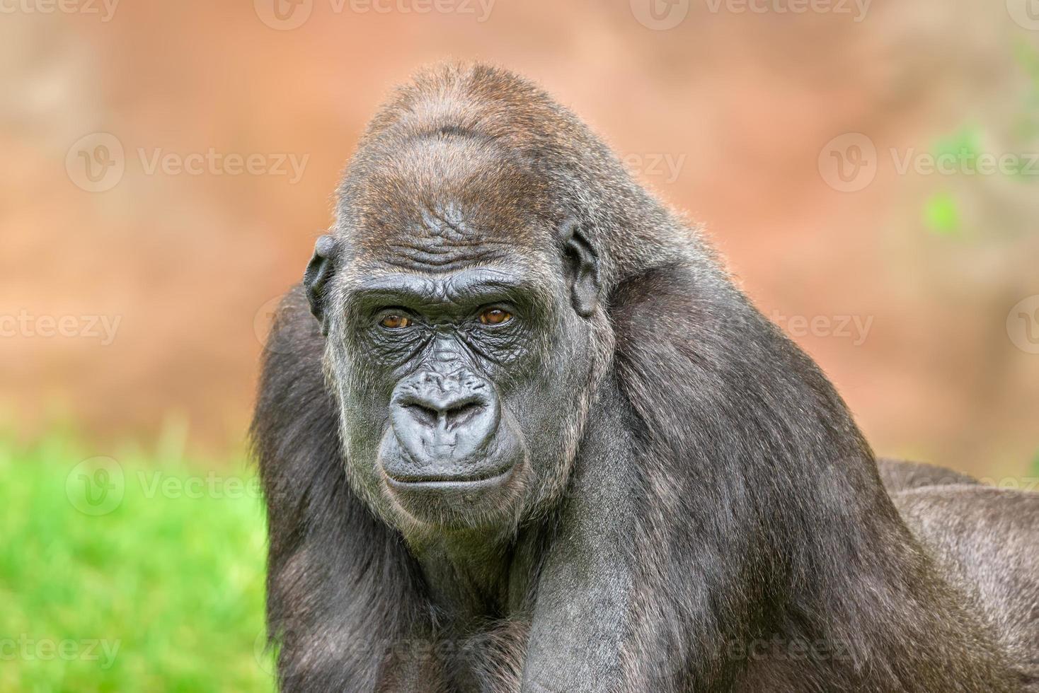 Western lowland gorilla photo