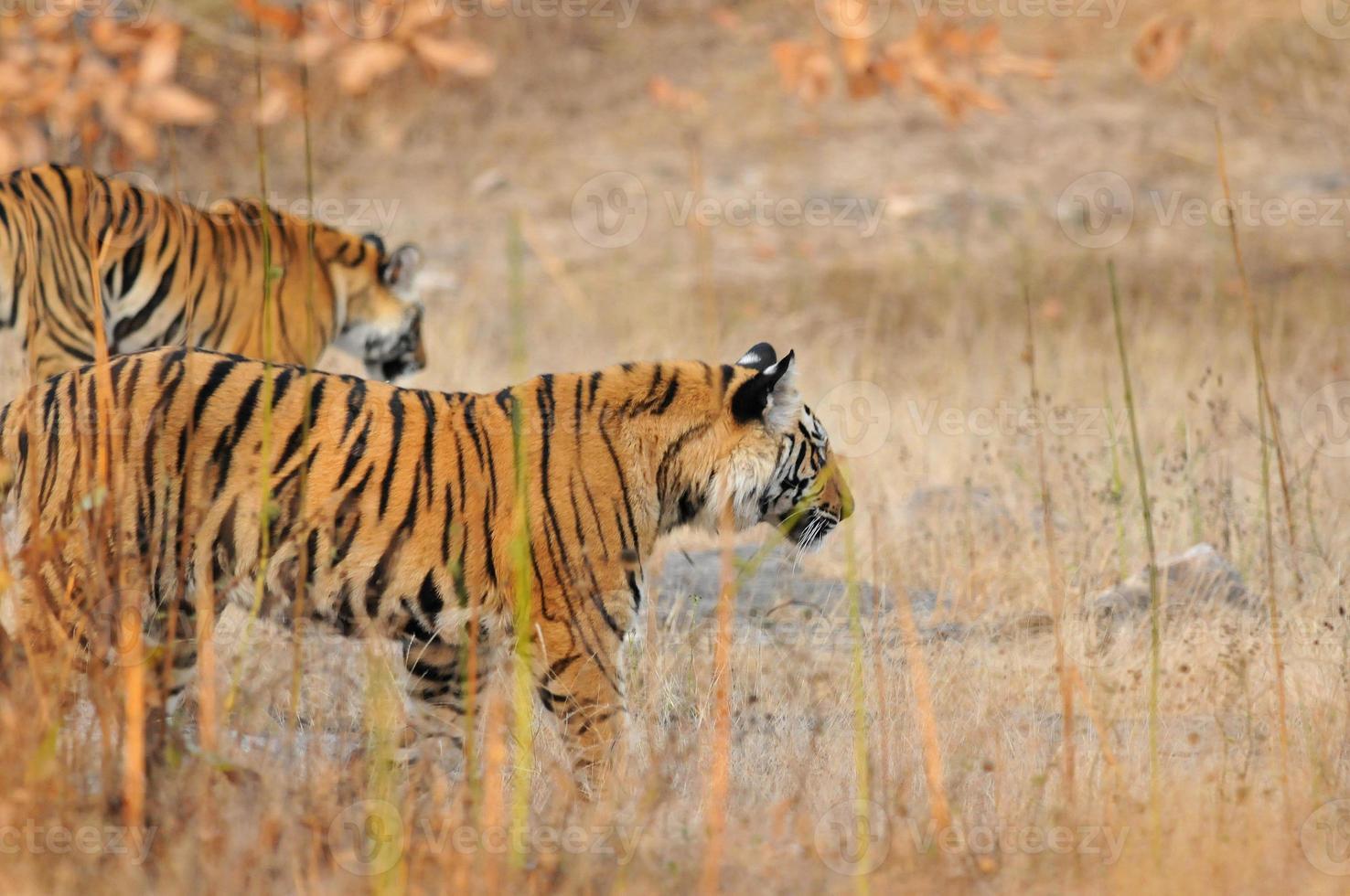 tigres al acecho. foto