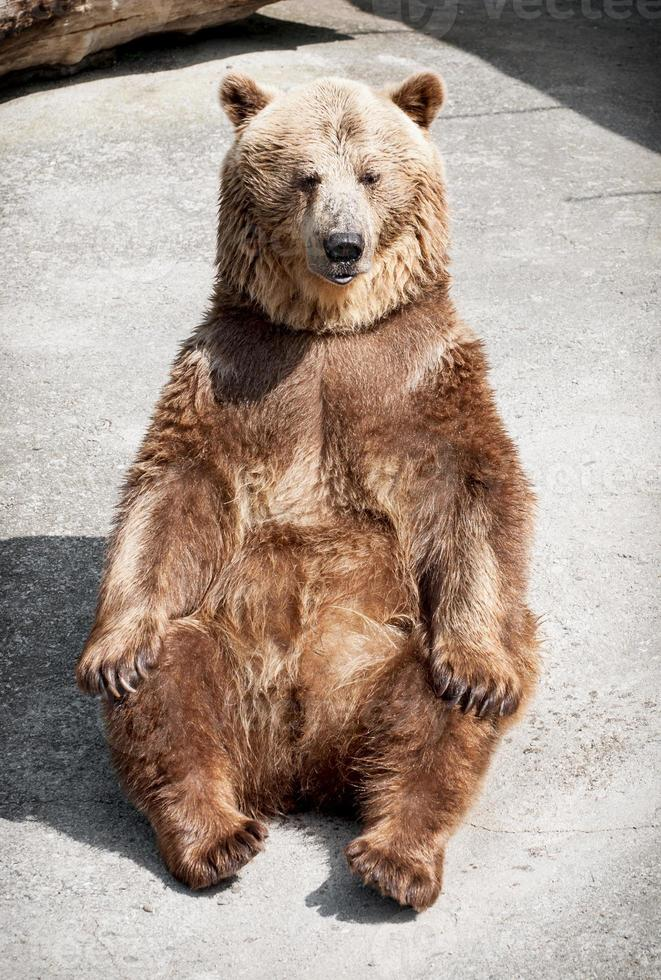 Joven oso pardo (ursus arctos arctos) sentado en el suelo foto