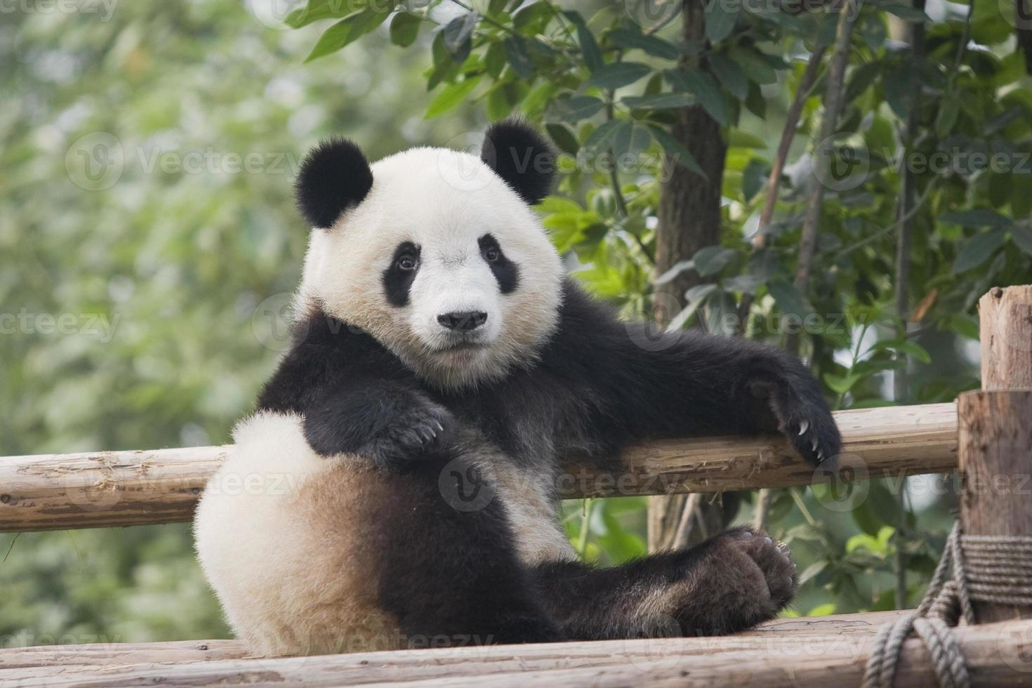 An adorable adult panda on a bamboo fence photo