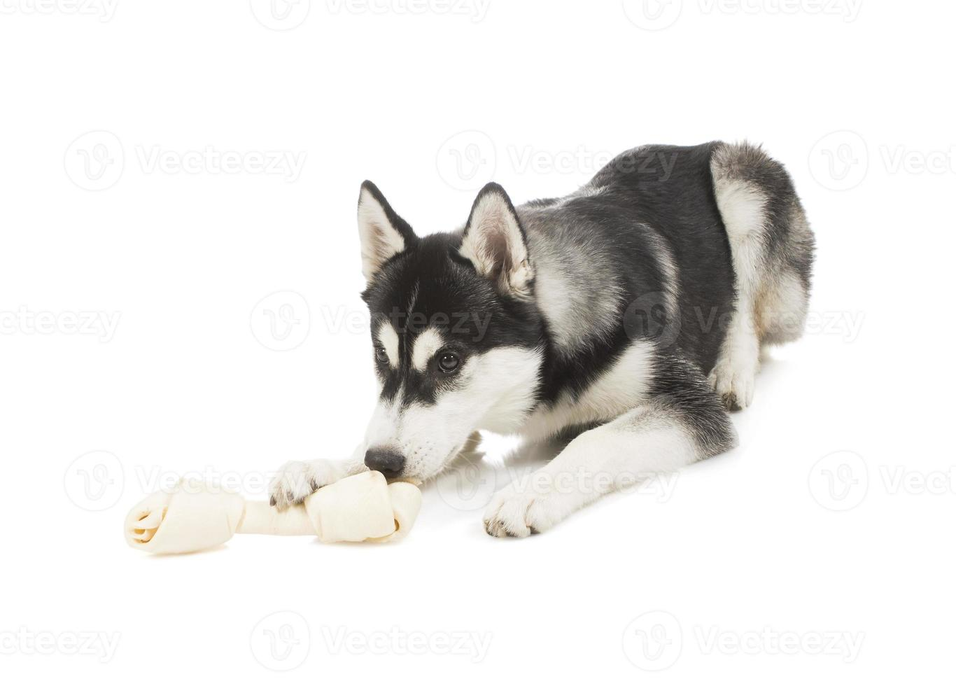 Five-month puppy Siberian Husky and sniffing bone lies photo