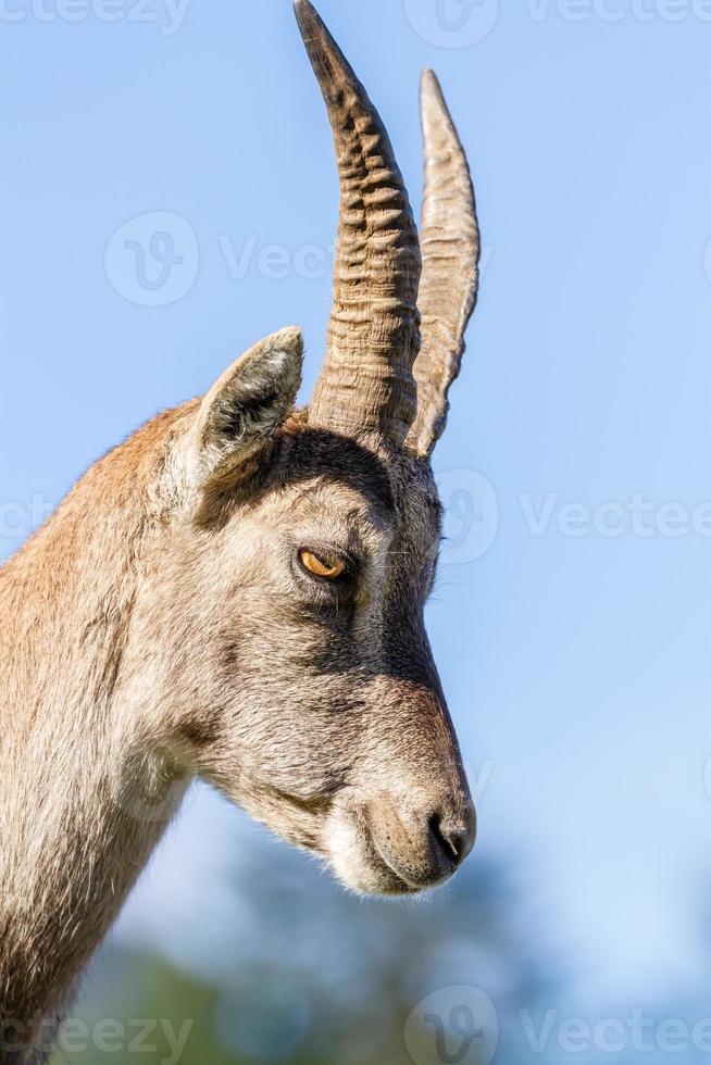 perfil de una cabra montés foto
