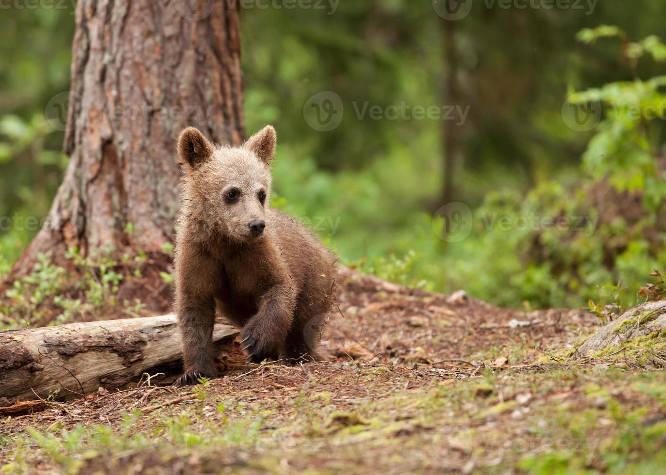 cachorro de oso pardo euroasiático (ursos arctos) foto