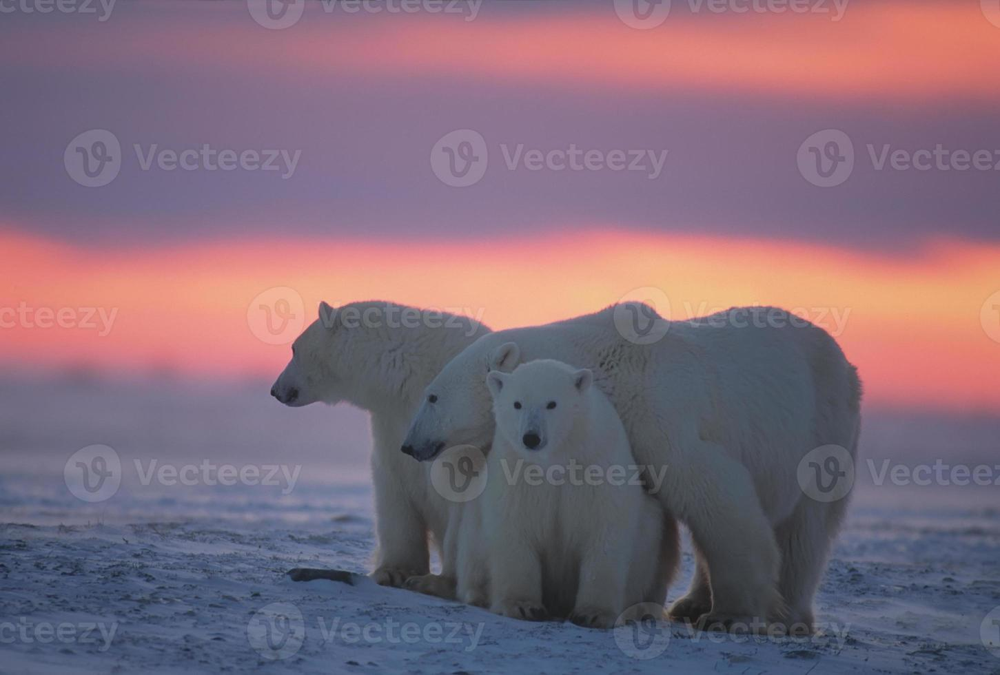 Polar bears in Canadian Arctic photo