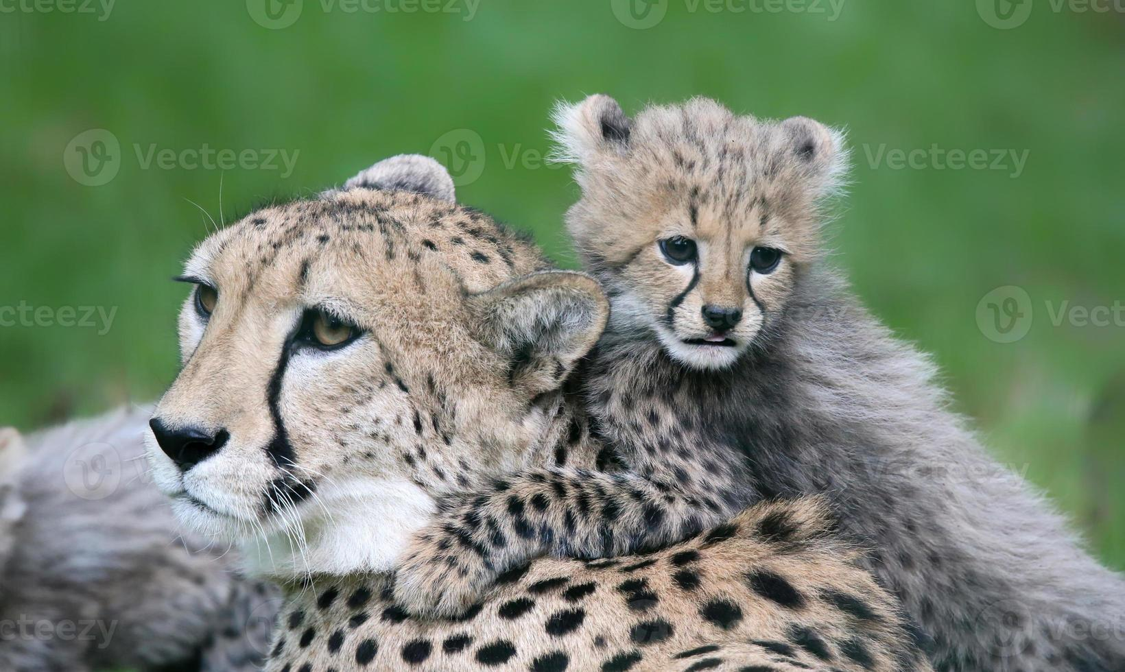Little cheetah and his mother photo