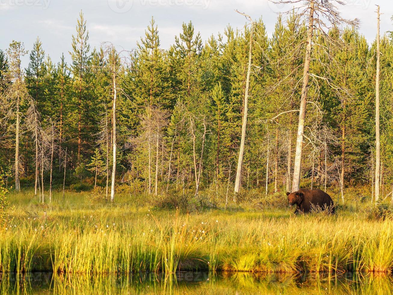 oso pardo (ursus arctos) en estado salvaje foto