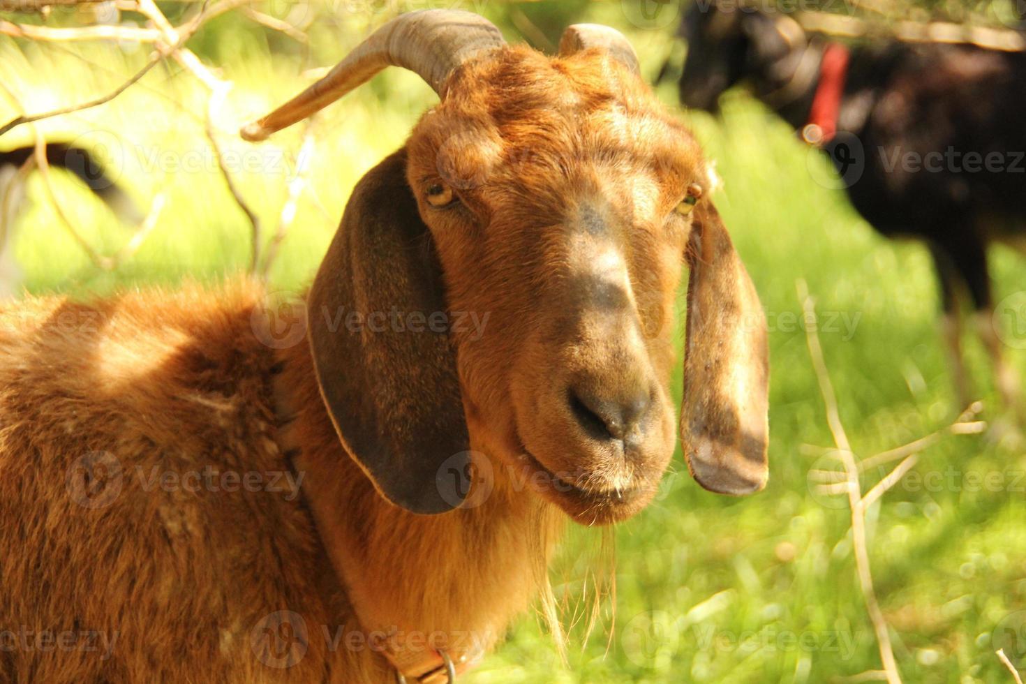 feliz cabra marrón foto