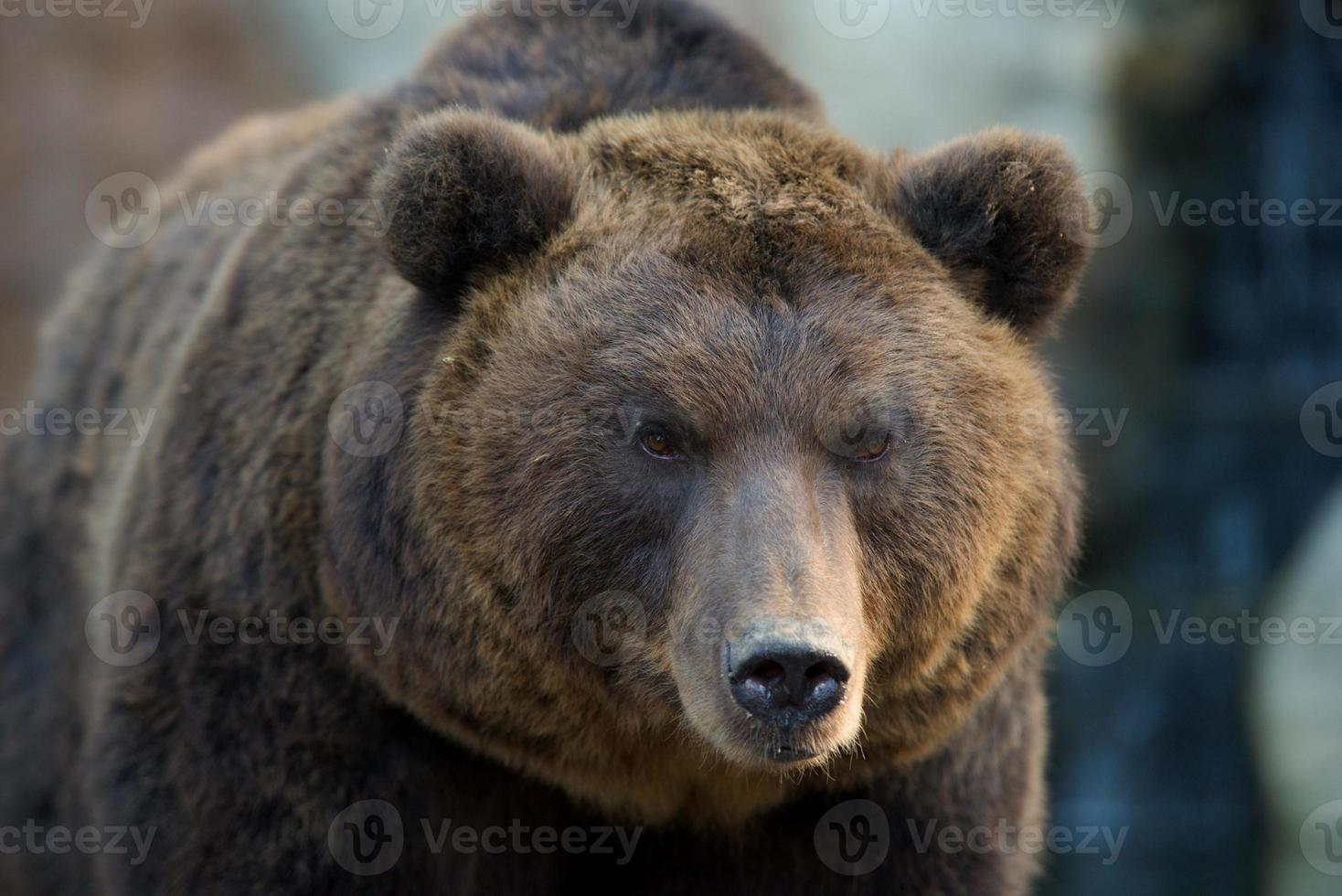 kamchatka oso pardo - ursus arctos beringianus foto