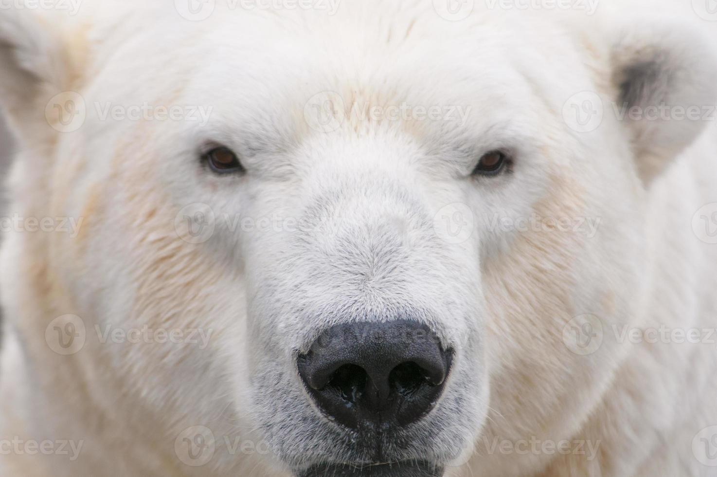 Polar Bear Close Up photo