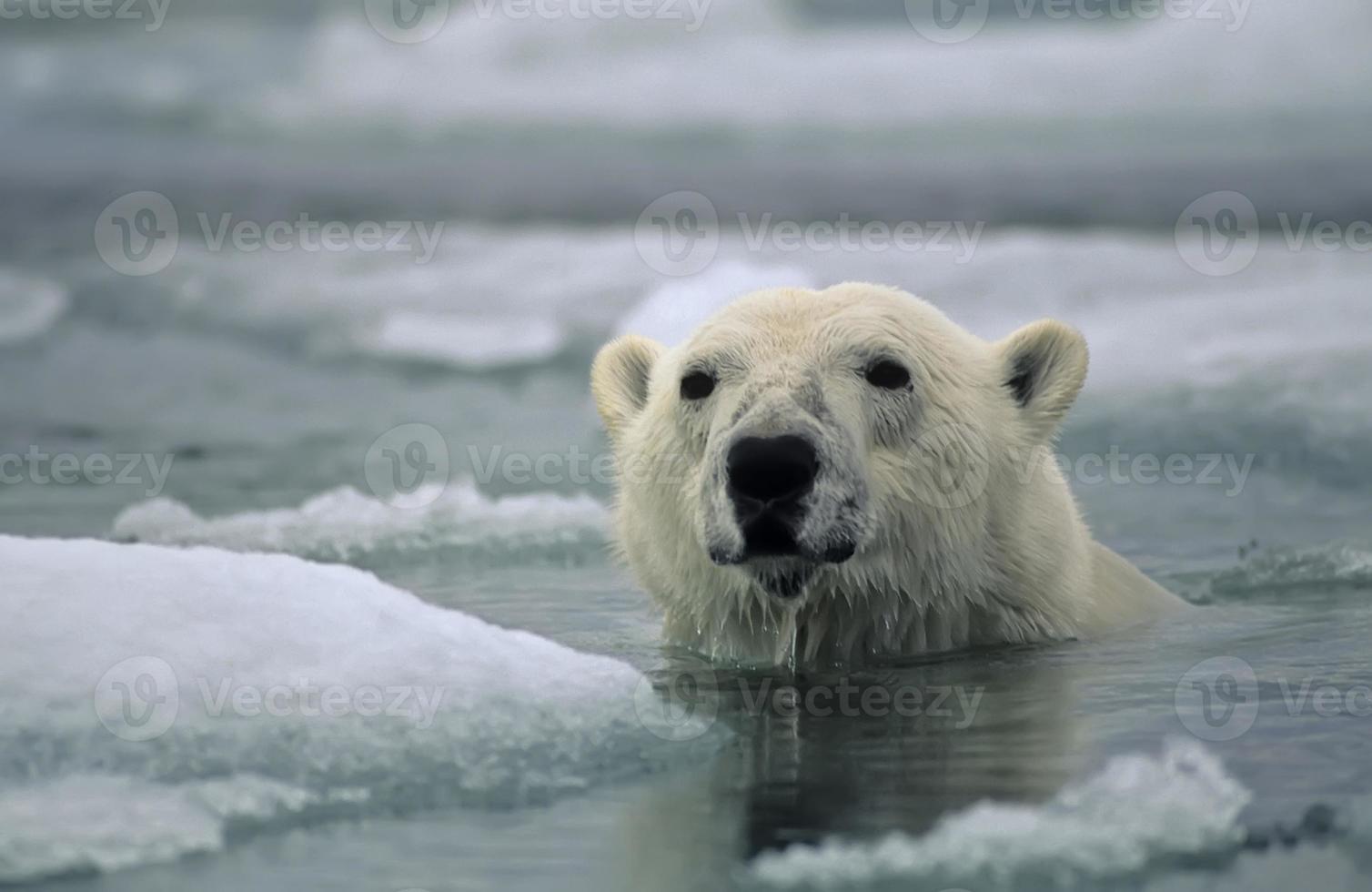 An adult polar bear swimming between icebergs photo
