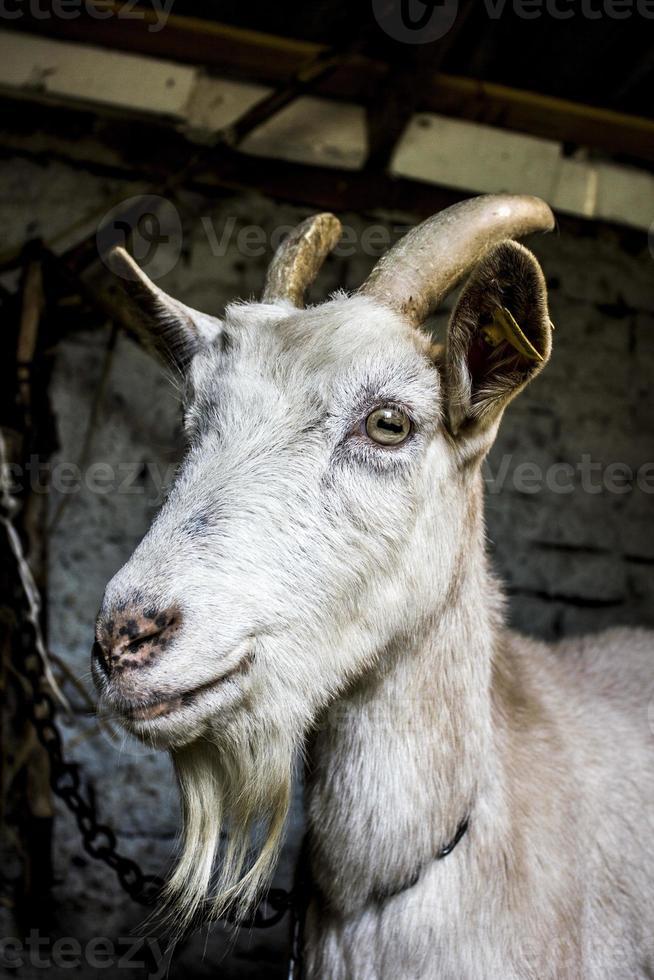 Cabra del país posando en el granero foto