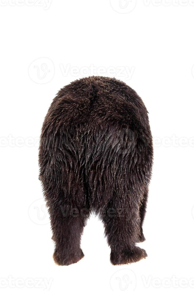 Brown bear, Ursus arctos photo