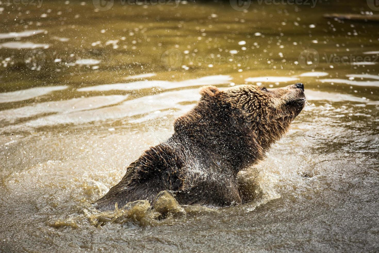 oso pardo (ursus arctos) foto
