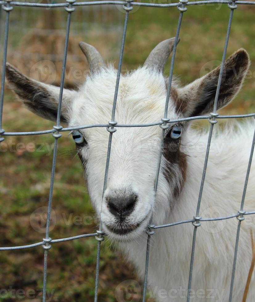 cabra enana nigeriana detrás de la valla foto