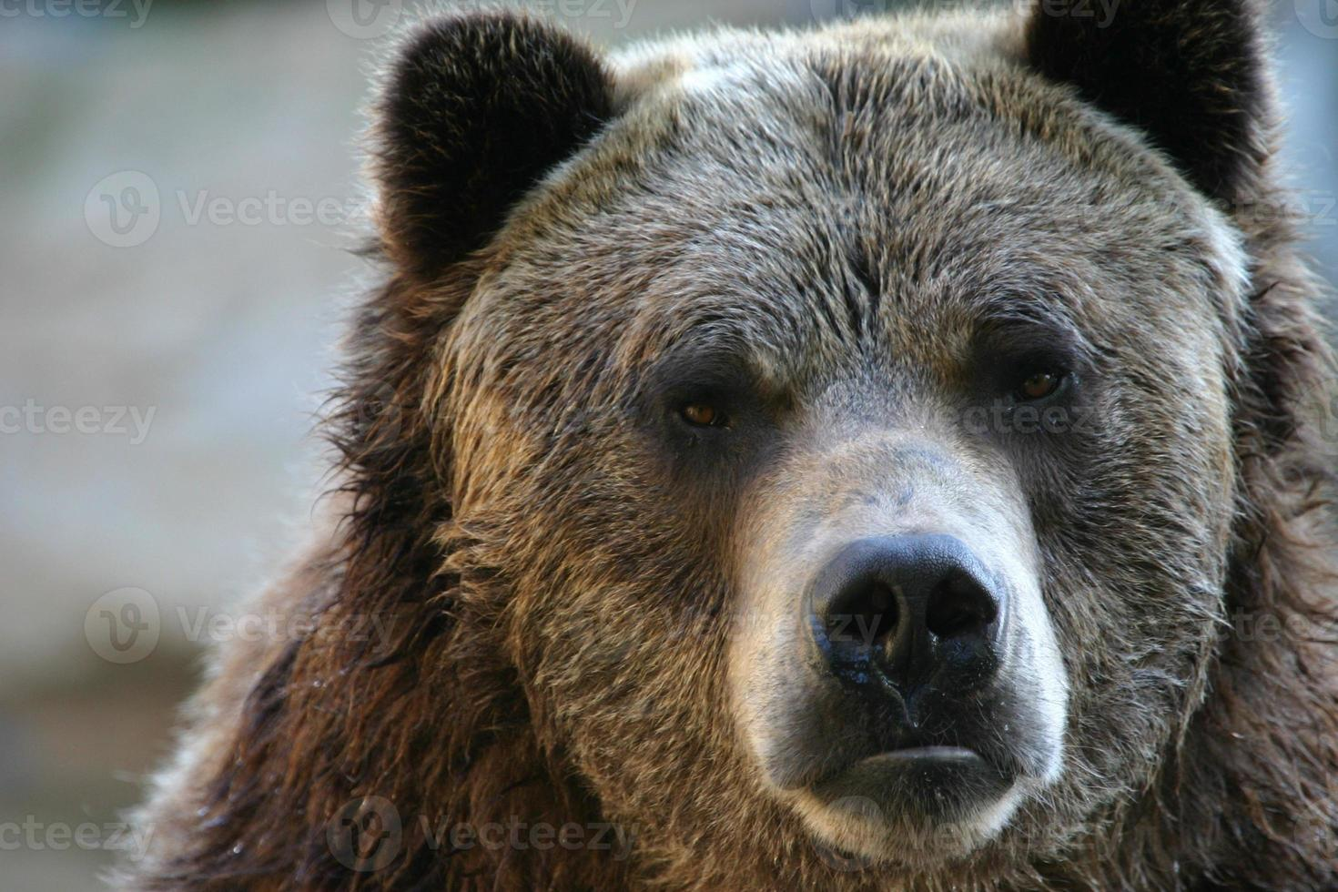 Grizzly bear portrait photo