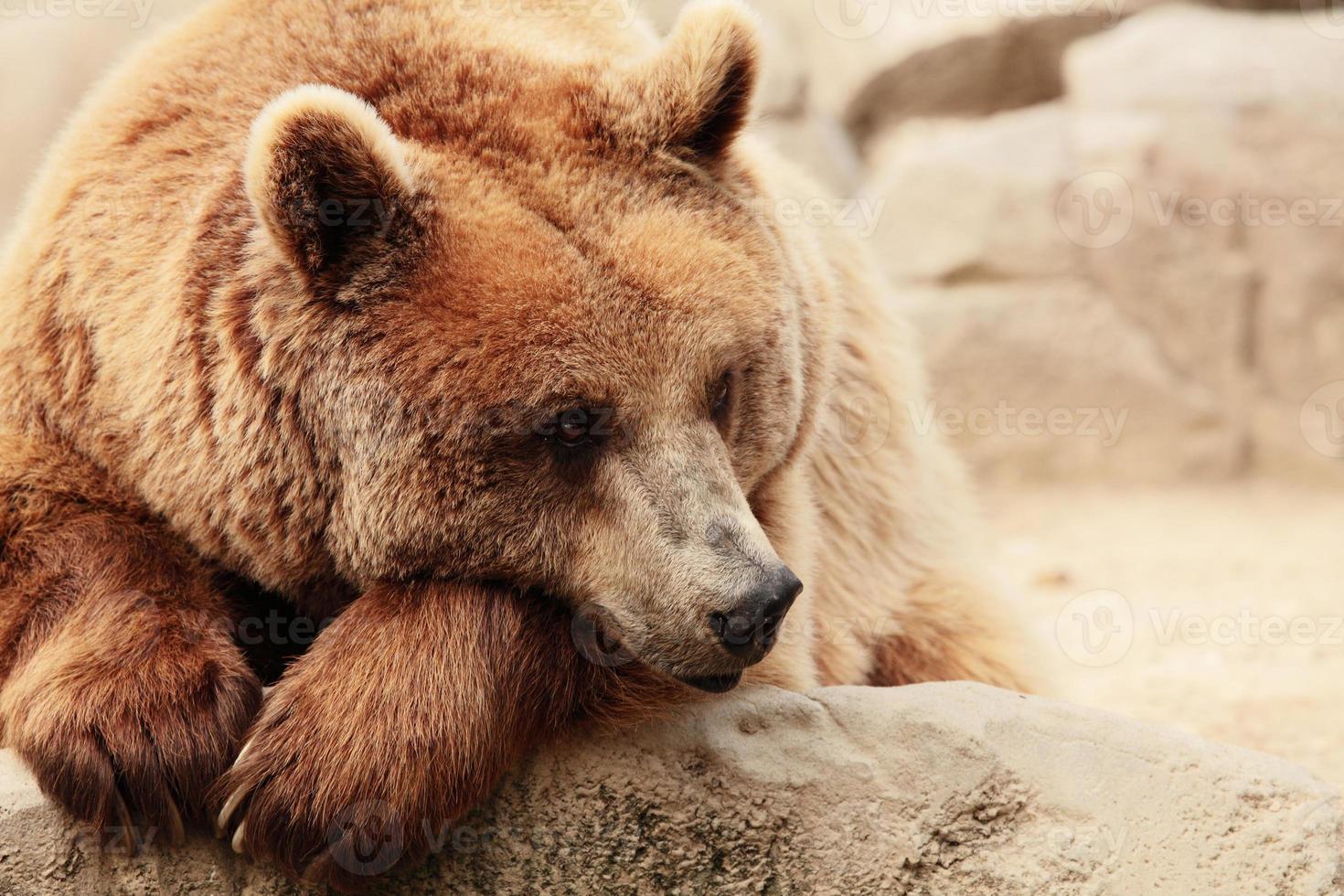la cara de un oso foto