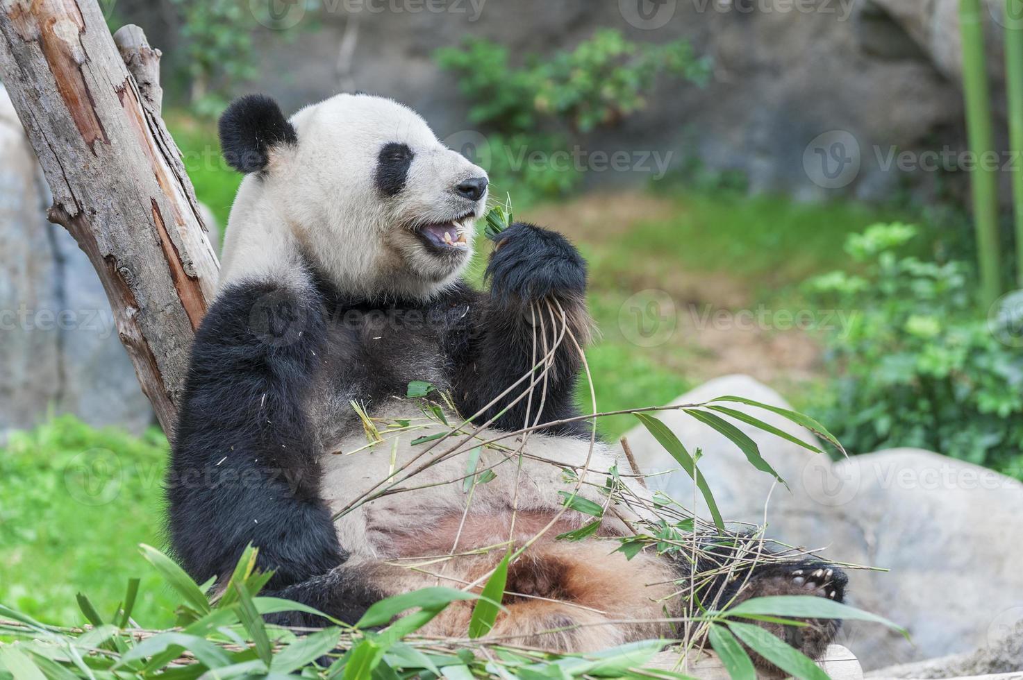oso panda foto