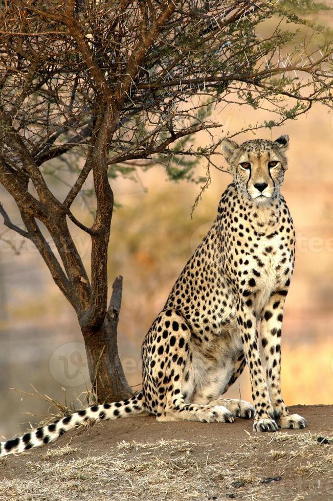 guepardo africano foto