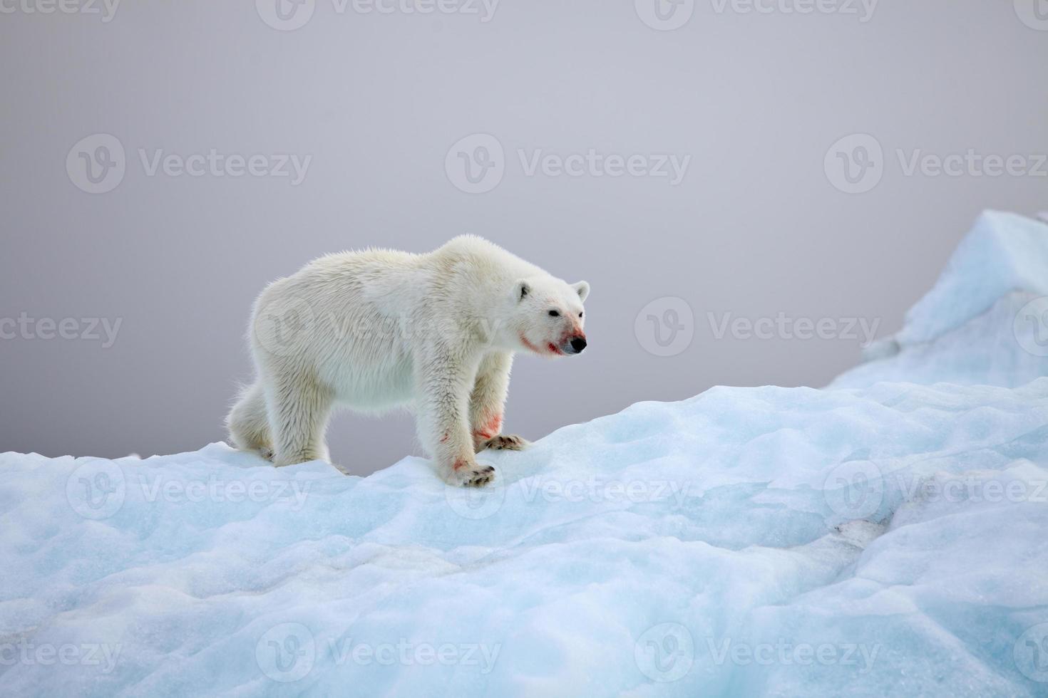 oso polar foto