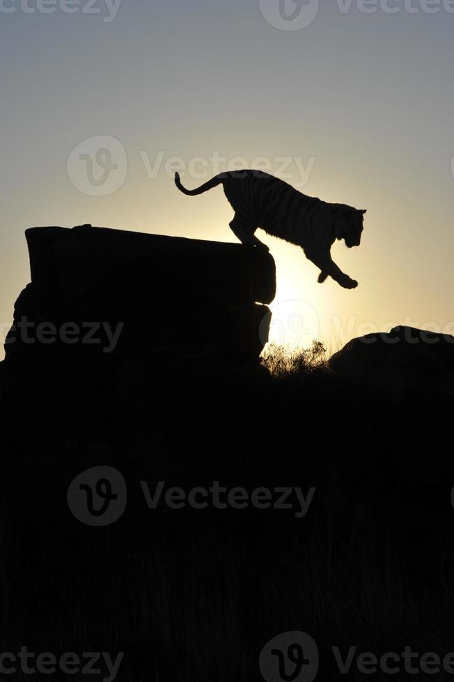 tiro de la silueta de un tigre foto