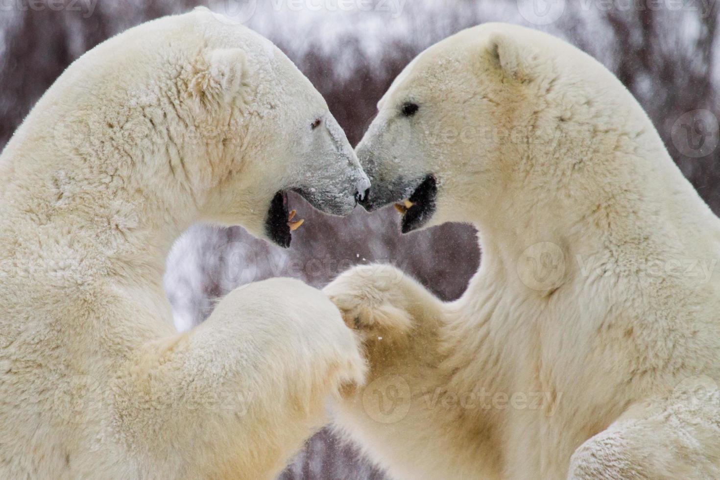 polar bear fist bump photo