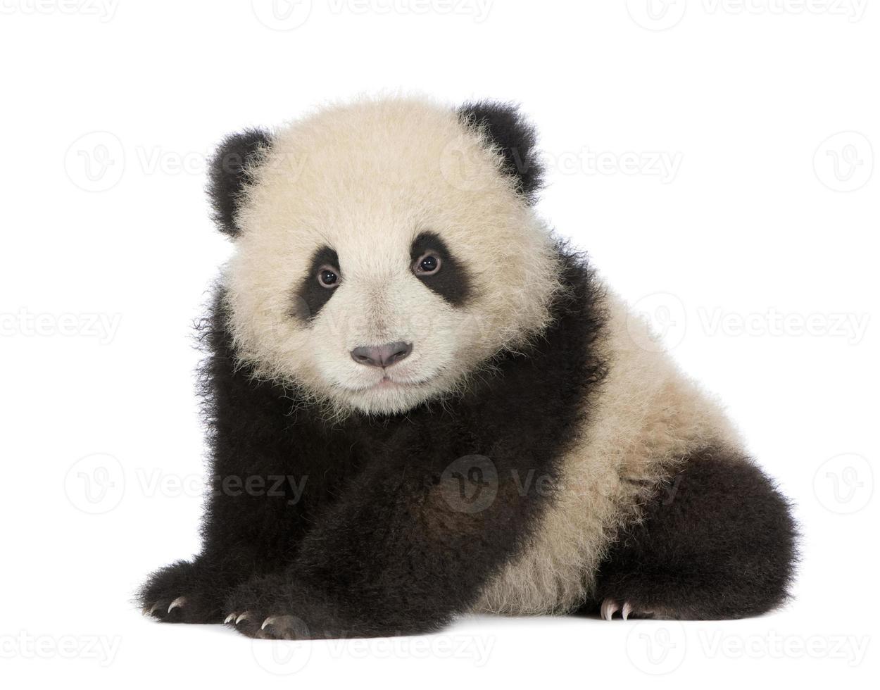 Giant Panda (6 months) - Ailuropoda melanoleuca photo