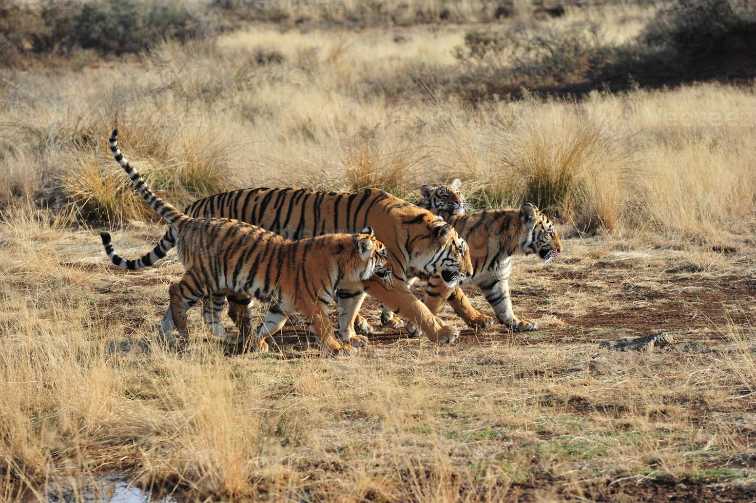 familia de tigres foto
