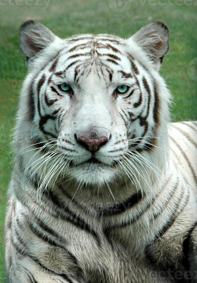 tigre de bengala blanco con ojos verdes posando graciosamente foto