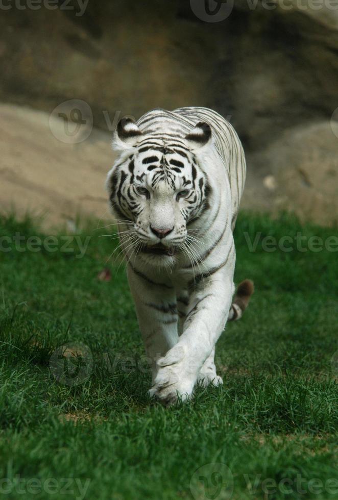 Tigre blanco foto