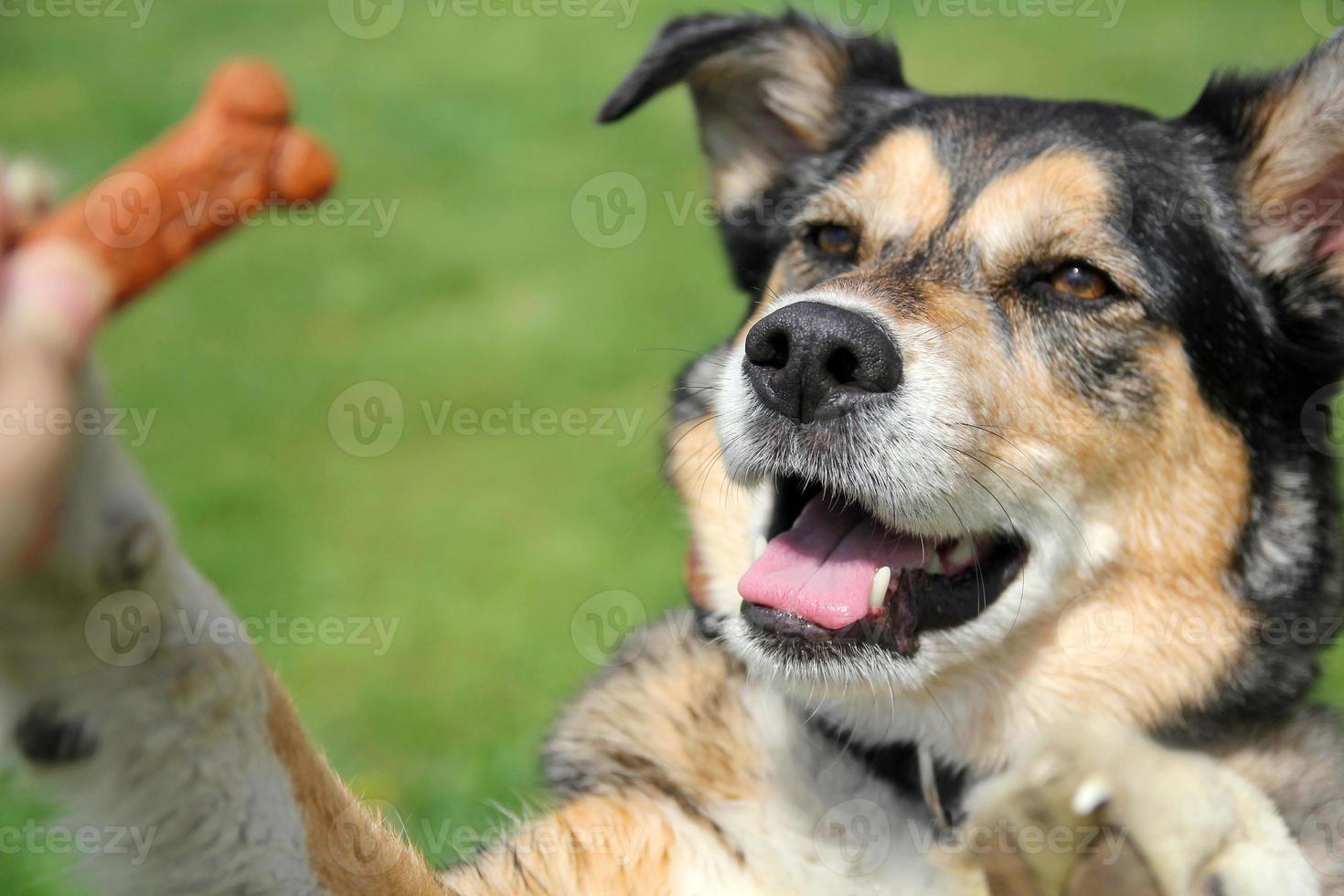 German Shepherd Mix Dog Begging for Treat photo