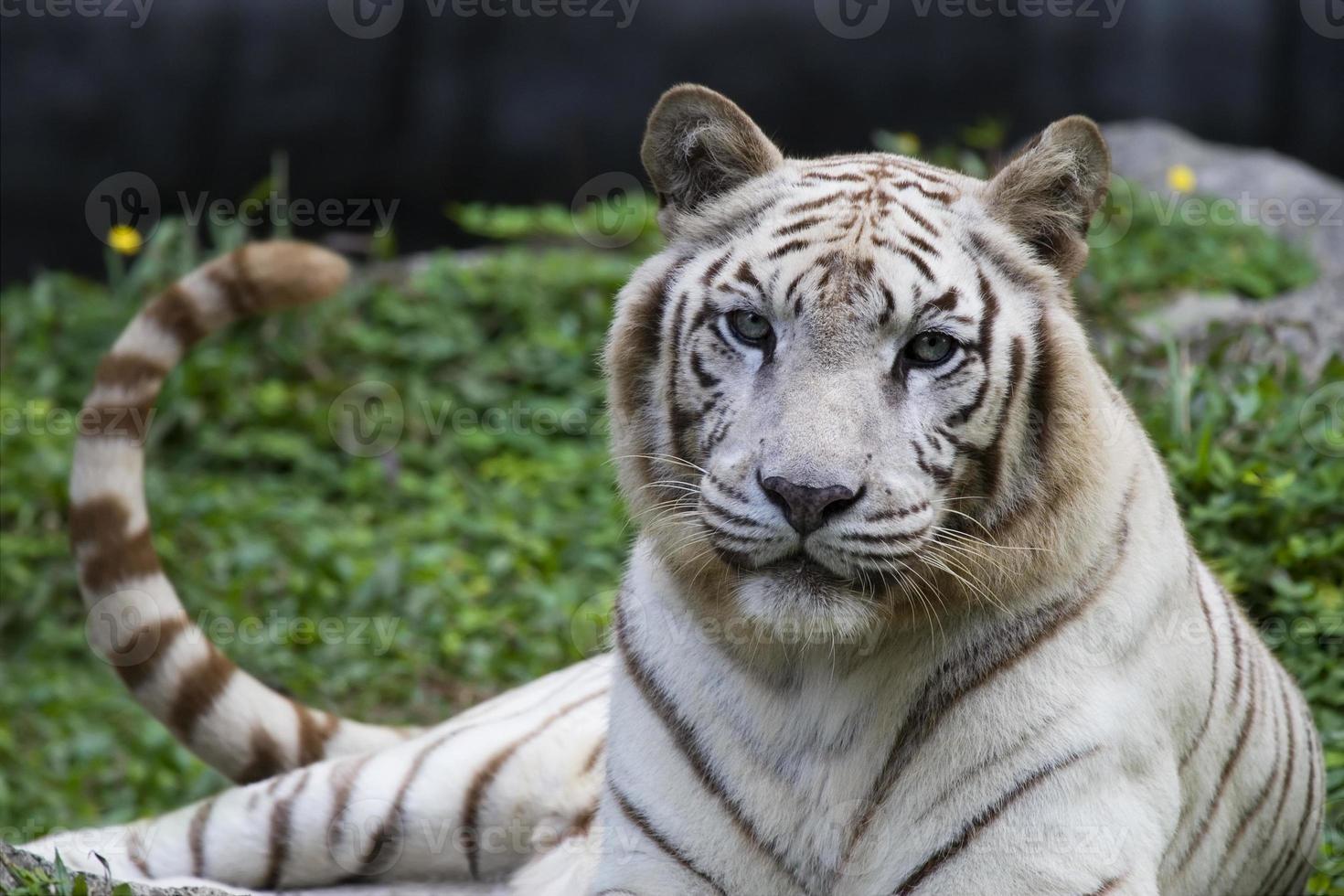 white tiger sitting on wilderness photo