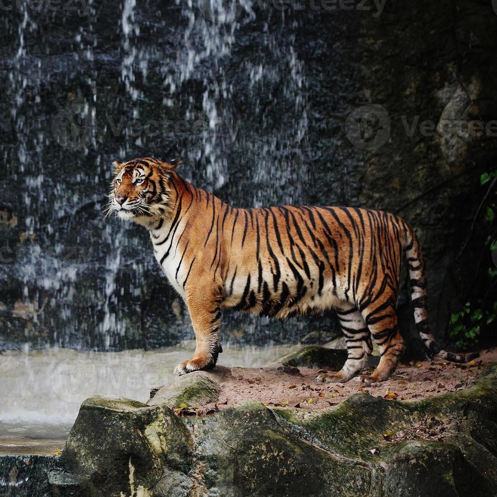 tigre rayado grande foto