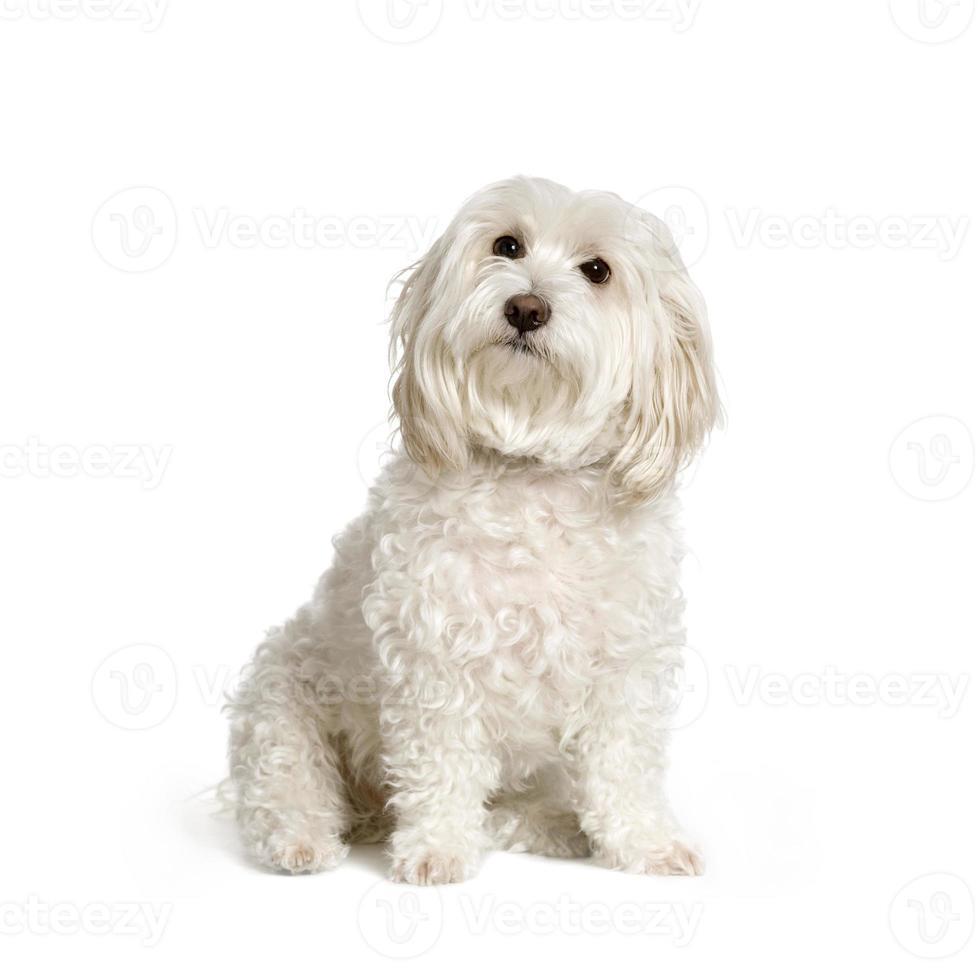 perro maltés foto
