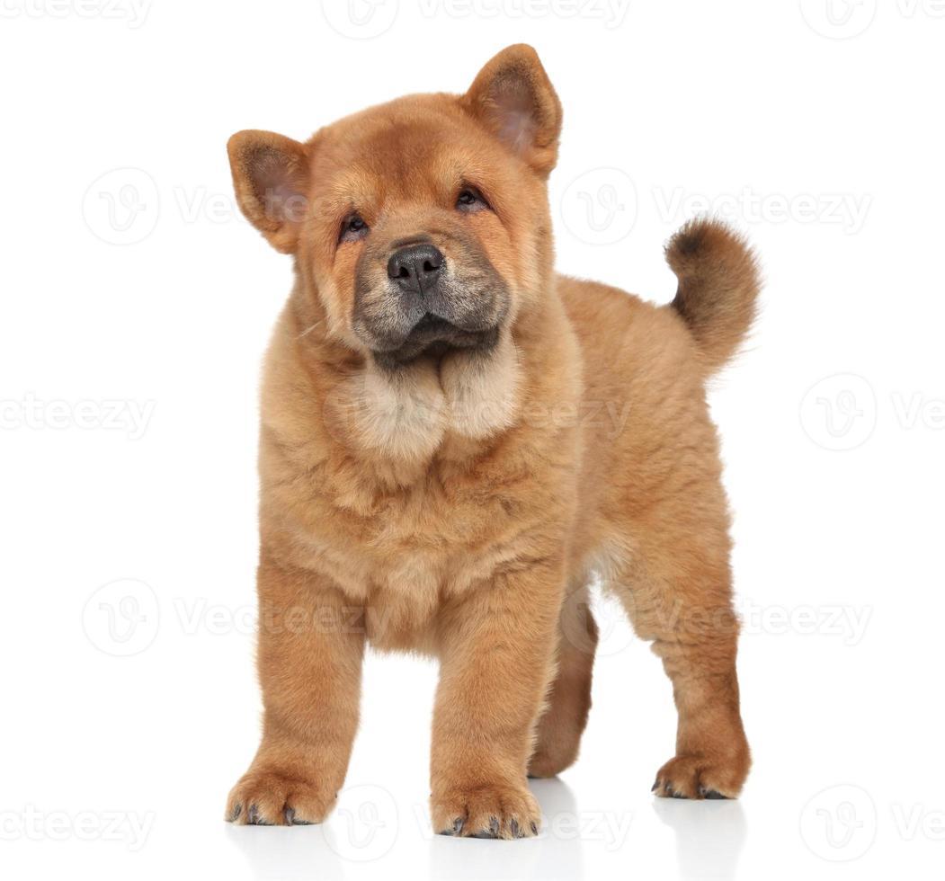 Retrato de cachorro chow-chow foto