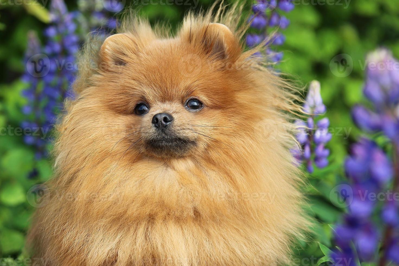 Perro Pomerania en flor de verano foto