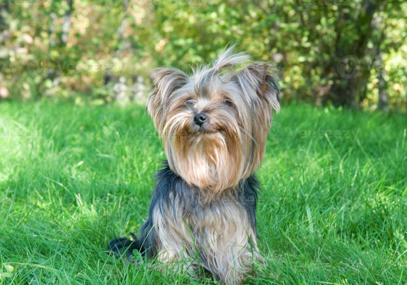 Yorkshire Terrier in city park photo