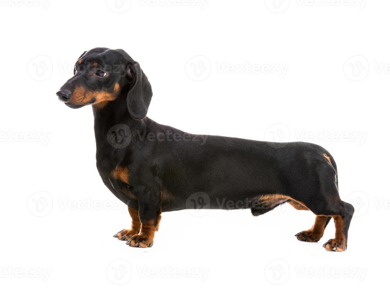 perro de raza dachshund foto